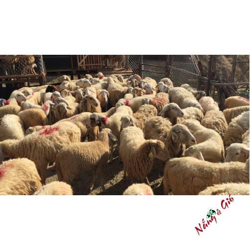 Sườn Cừu Phan Rang