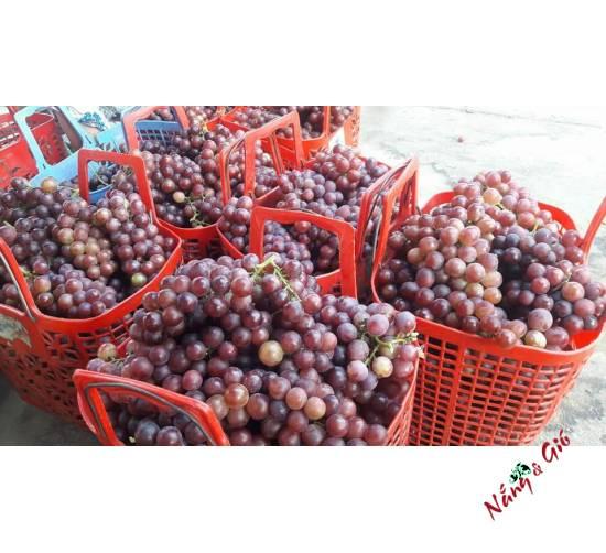 Nho Đỏ Phan Rang